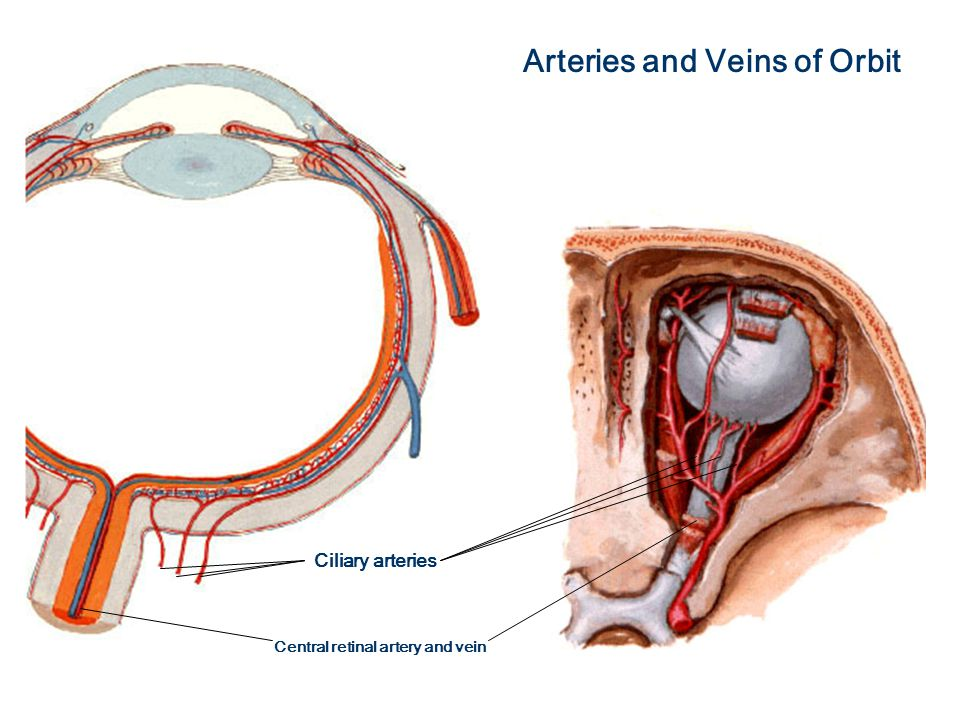 CNS Sequence Eye and Ear Lab March 18, Eyelids: Netter pl ppt download