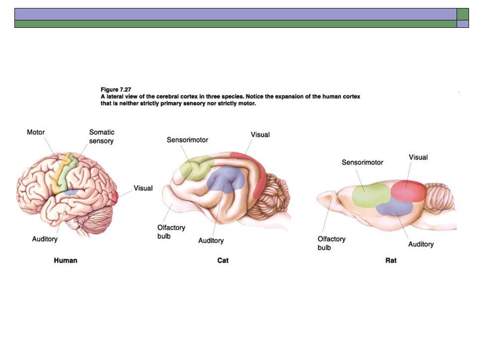 Development of the Nervous System - ppt video online download