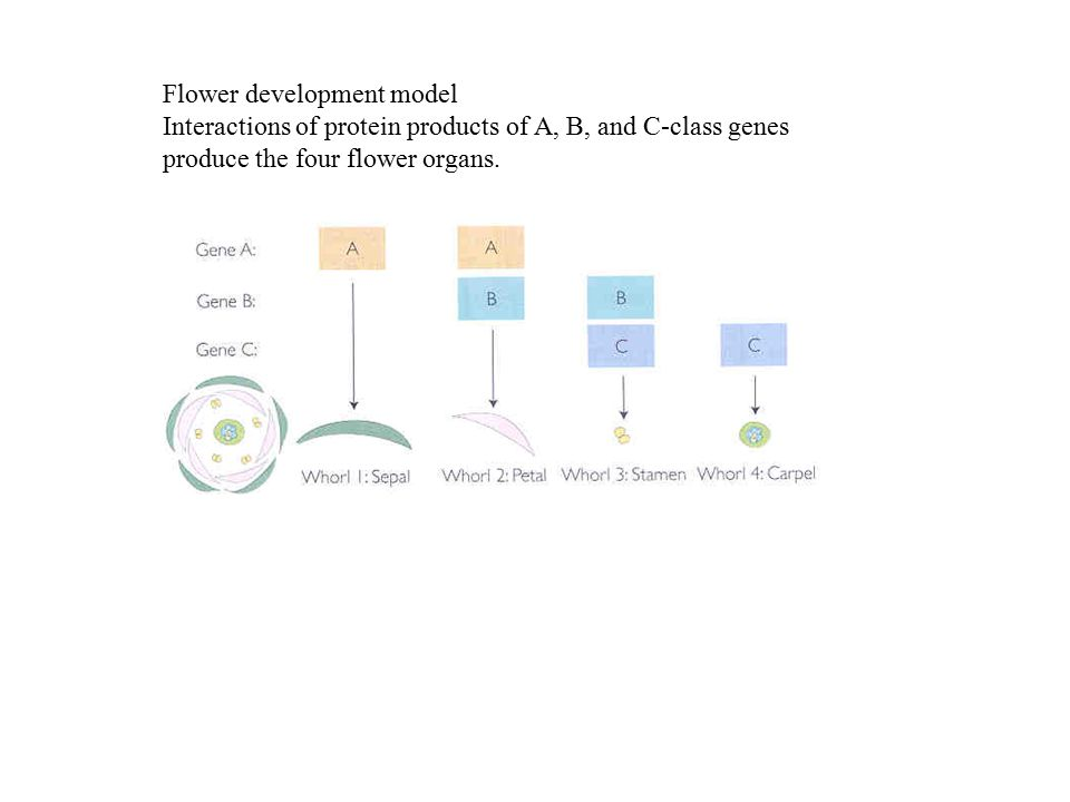 Flower development model Interactions of protein products of A, B, and C-class genes produce the four flower organs.