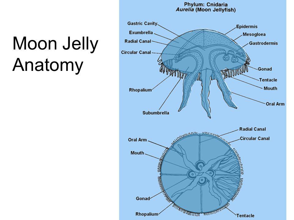 Cnidarian Diversity. Phylum Cnidaria Class Anthozoa Class Hydrozoa ...