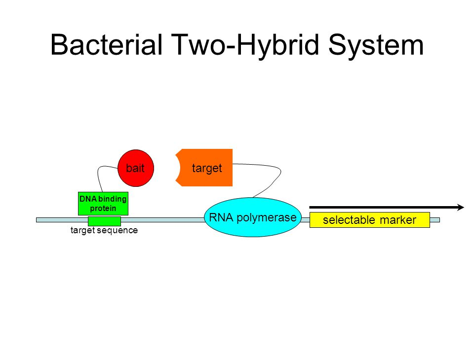 2 Bacterial Two Hybrid System Selectable Marker Rna Polymerase Dna Binding Protein Bait Target Sequence