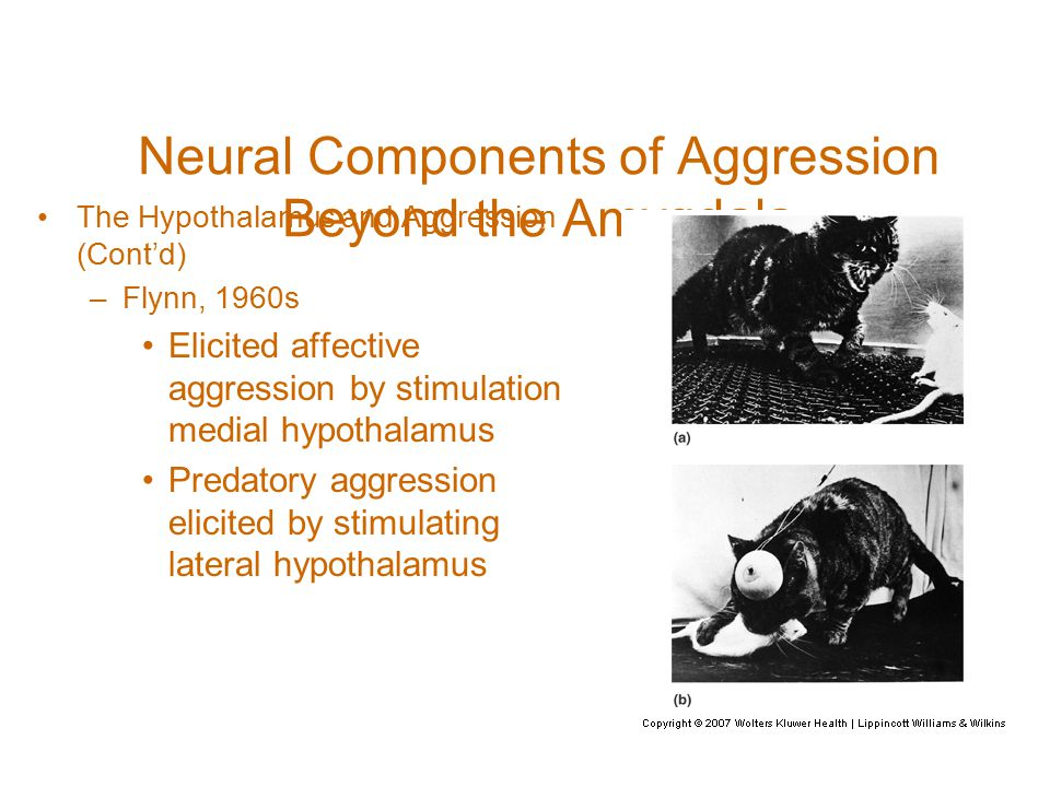 Neural Components of Aggression Beyond the Amygdala The Hypothalamus and Aggression (Cont'd) –Flynn, 1960s Elicited affective aggression by stimulation medial hypothalamus Predatory aggression elicited by stimulating lateral hypothalamus