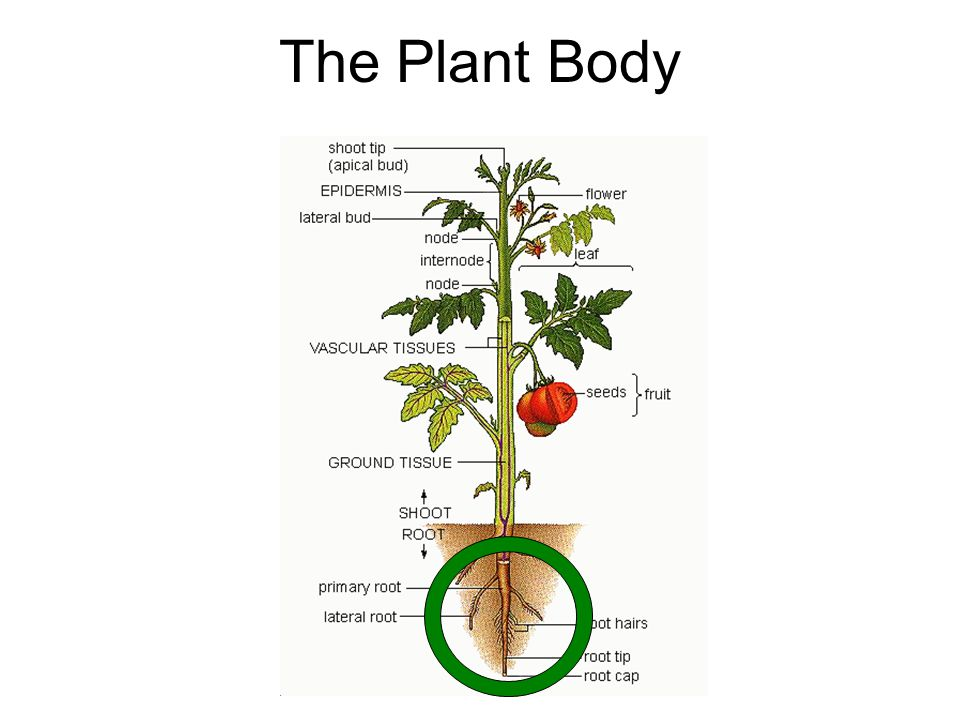 The Plant Body. ROOTS IN FLOWERING PLANTS Origin (Radicle or ...