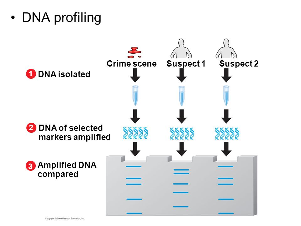 DNA profiling Crime scene DNA isolated 1 Suspect 1Suspect 2 DNA of selected markers amplified 2 Amplified DNA compared 3