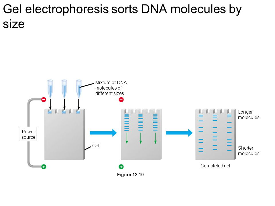 Gel electrophoresis sorts DNA molecules by size ++ – – Power source Gel Mixture of DNA molecules of different sizes Longer molecules Shorter molecules Completed gel Figure 12.10