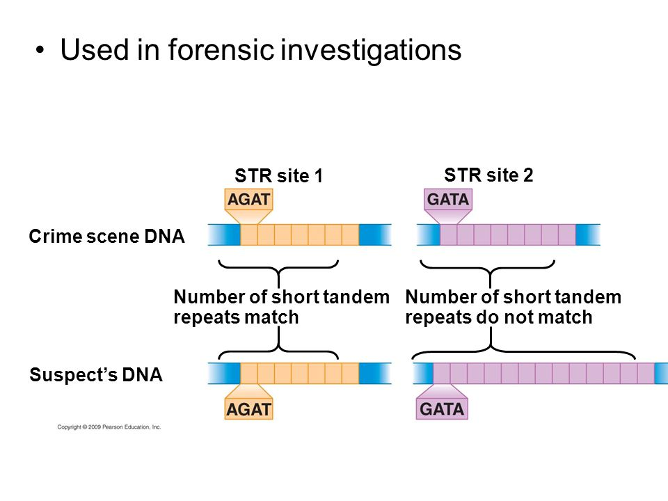 Used in forensic investigations STR site 1 Crime scene DNA STR site 2 Suspect's DNA Number of short tandem repeats match Number of short tandem repeats do not match