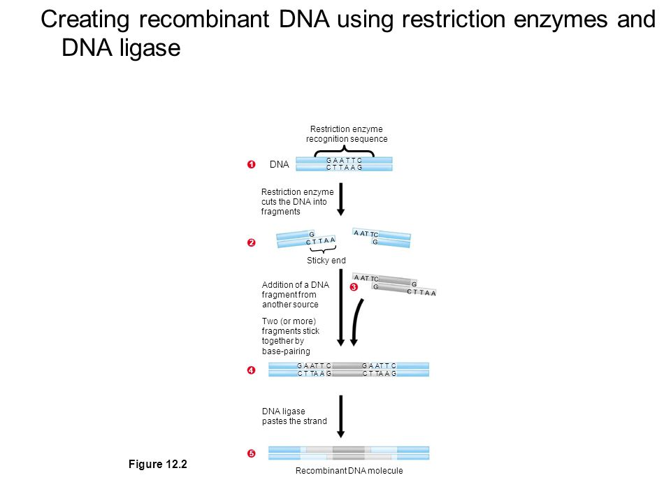 Creating recombinant DNA using restriction enzymes and DNA ligase Restriction enzyme recognition sequence G A A T T C C T T A A G DNA C T T A A A AT TC G C T T A A Addition of a DNA fragment from another source Two (or more) fragments stick together by base-pairing G A AT T C C T TA A G G A AT T C C T TA A G 5 DNA ligase pastes the strand Restriction enzyme cuts the DNA into fragments Recombinant DNA molecule G G Sticky end G Figure 12.2