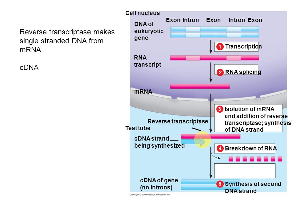 Cell nucleus Isolation of mRNA and addition of reverse transcriptase; synthesis of DNA strand RNA splicing 2 Transcription 1 3 Breakdown of RNA 4 Synthesis of second DNA strand 5 mRNA DNA of eukaryotic gene IntronExon RNA transcript ExonIntronExon Reverse transcriptase Test tube cDNA strand being synthesized cDNA of gene (no introns) Reverse transcriptase makes single stranded DNA from mRNA cDNA