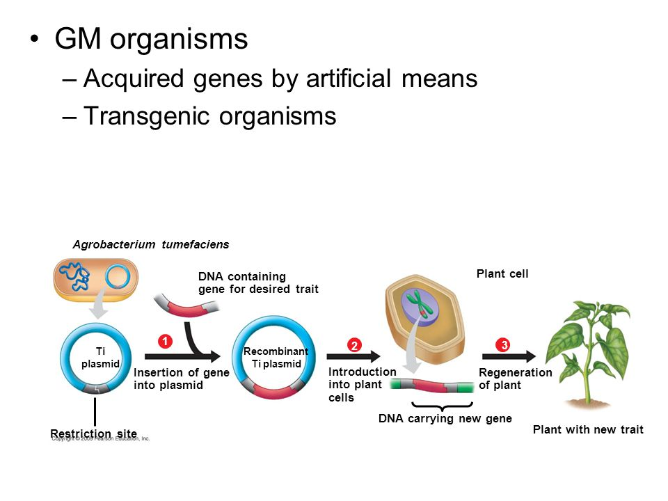 GM organisms –Acquired genes by artificial means –Transgenic organisms Agrobacterium tumefaciens DNA containing gene for desired trait Ti plasmid Insertion of gene into plasmid Recombinant Ti plasmid 1 Restriction site Plant cell Introduction into plant cells 2 DNA carrying new gene Regeneration of plant 3 Plant with new trait
