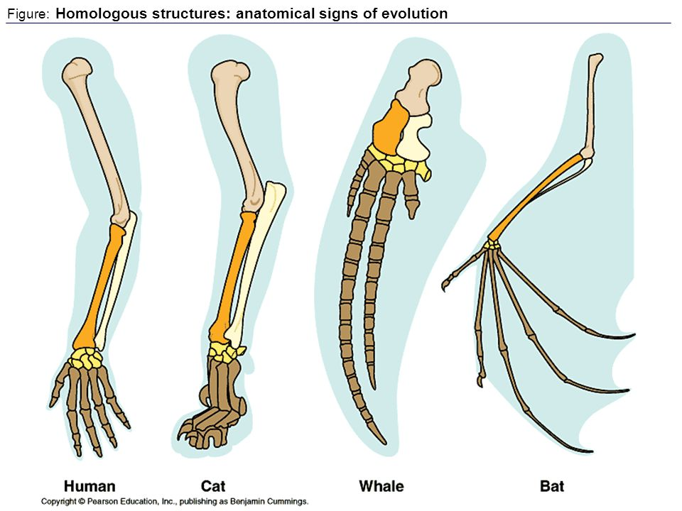 Figure: Homologous structures: anatomical signs of evolution