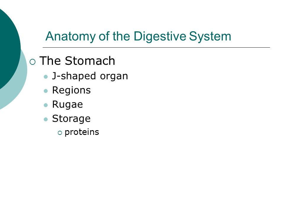Anatomy of the Digestive System  The Stomach J-shaped organ Regions Rugae Storage  proteins