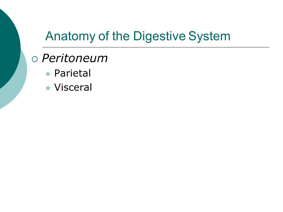 Anatomy of the Digestive System  Peritoneum Parietal Visceral