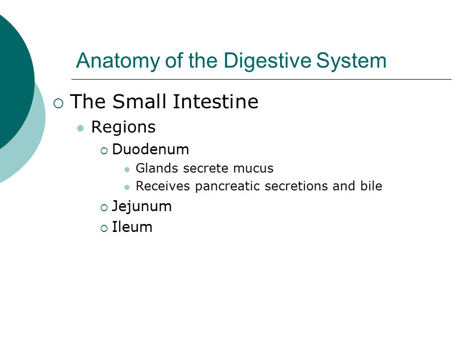 Anatomy of the Digestive System  The Small Intestine Regions  Duodenum Glands secrete mucus Receives pancreatic secretions and bile  Jejunum  Ileum