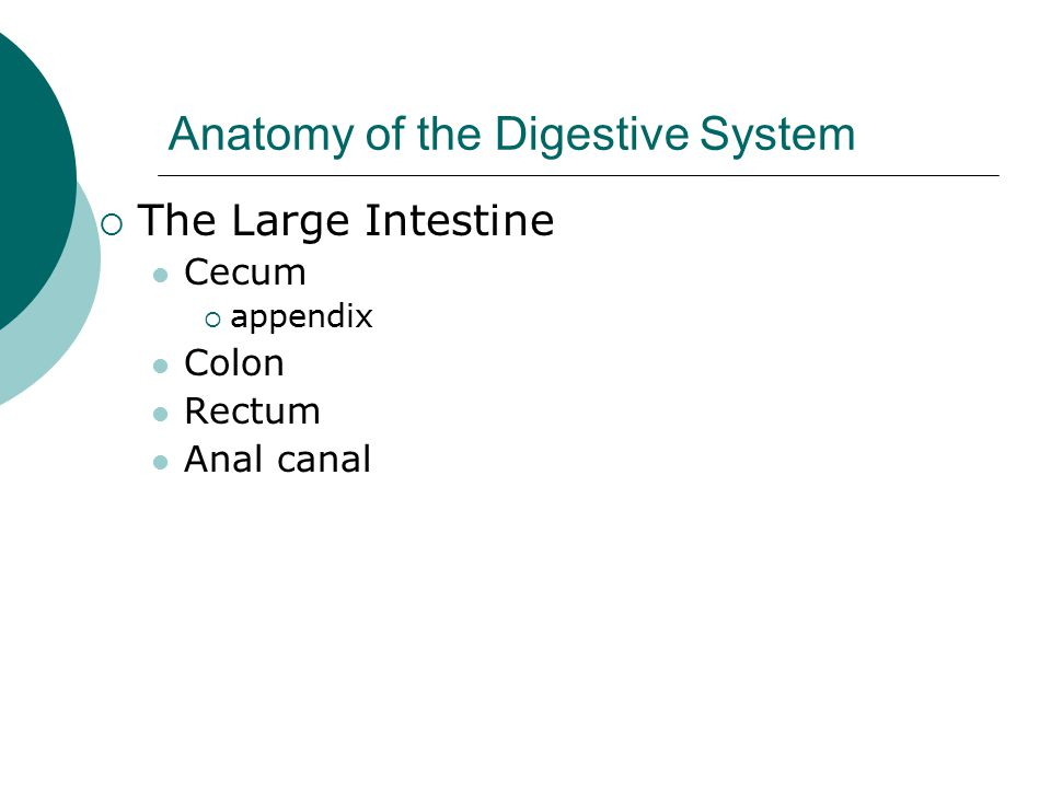 Anatomy of the Digestive System  The Large Intestine Cecum  appendix Colon Rectum Anal canal