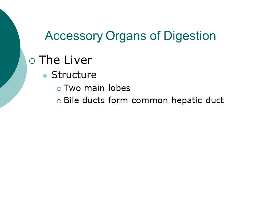 Accessory Organs of Digestion  The Liver Structure  Two main lobes  Bile ducts form common hepatic duct