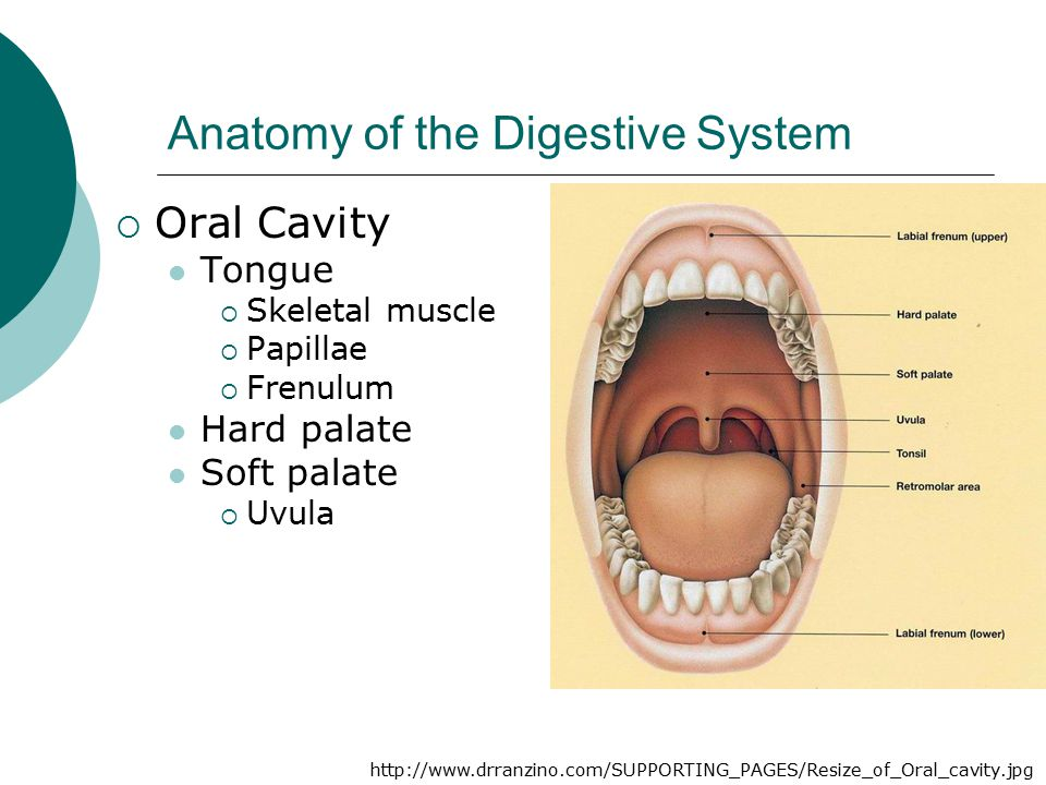 Anatomy of the Digestive System  Oral Cavity Tongue  Skeletal muscle  Papillae  Frenulum Hard palate Soft palate  Uvula