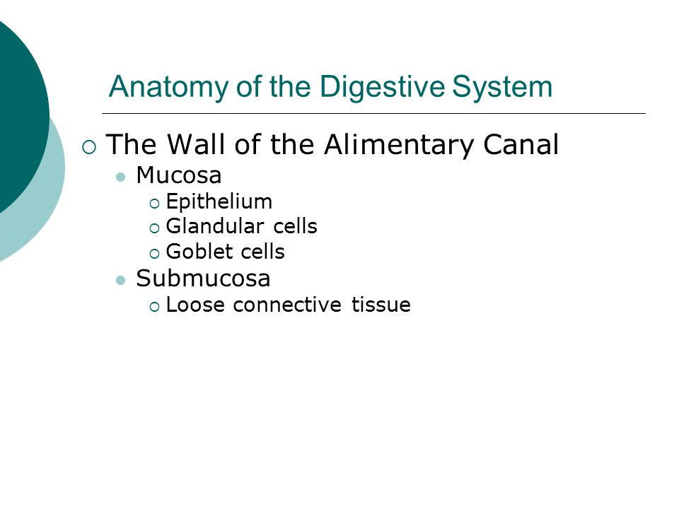 Anatomy of the Digestive System  The Wall of the Alimentary Canal Mucosa  Epithelium  Glandular cells  Goblet cells Submucosa  Loose connective tissue