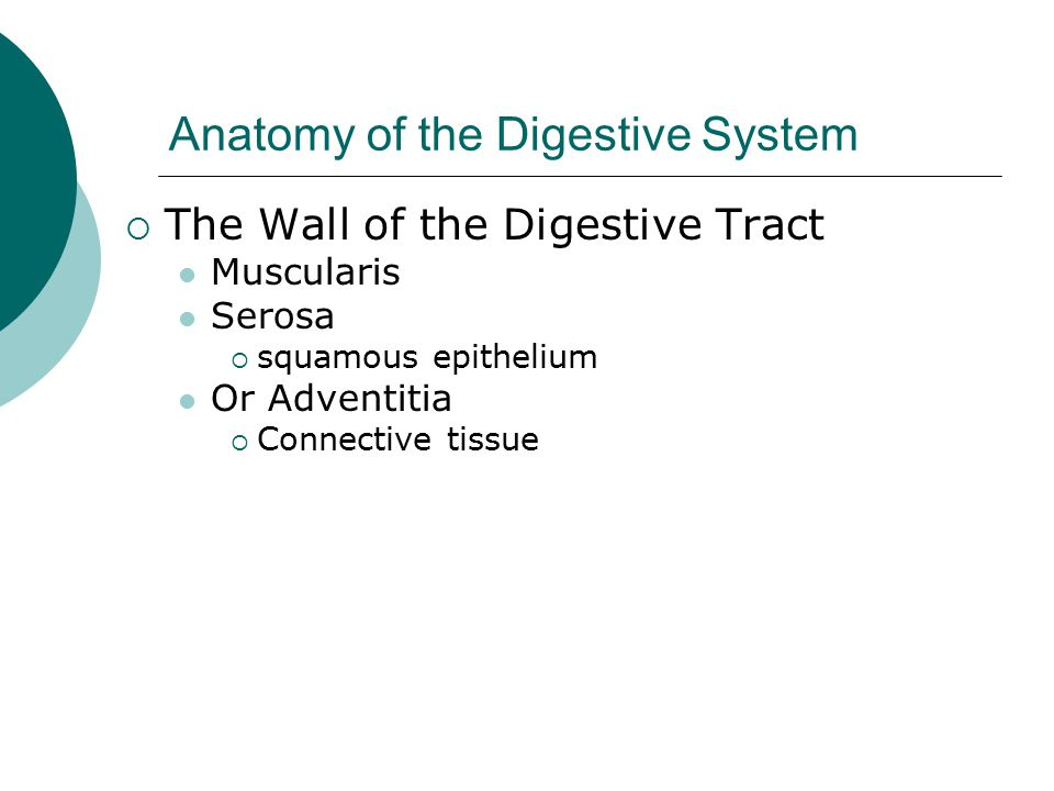 Anatomy of the Digestive System  The Wall of the Digestive Tract Muscularis Serosa  squamous epithelium Or Adventitia  Connective tissue