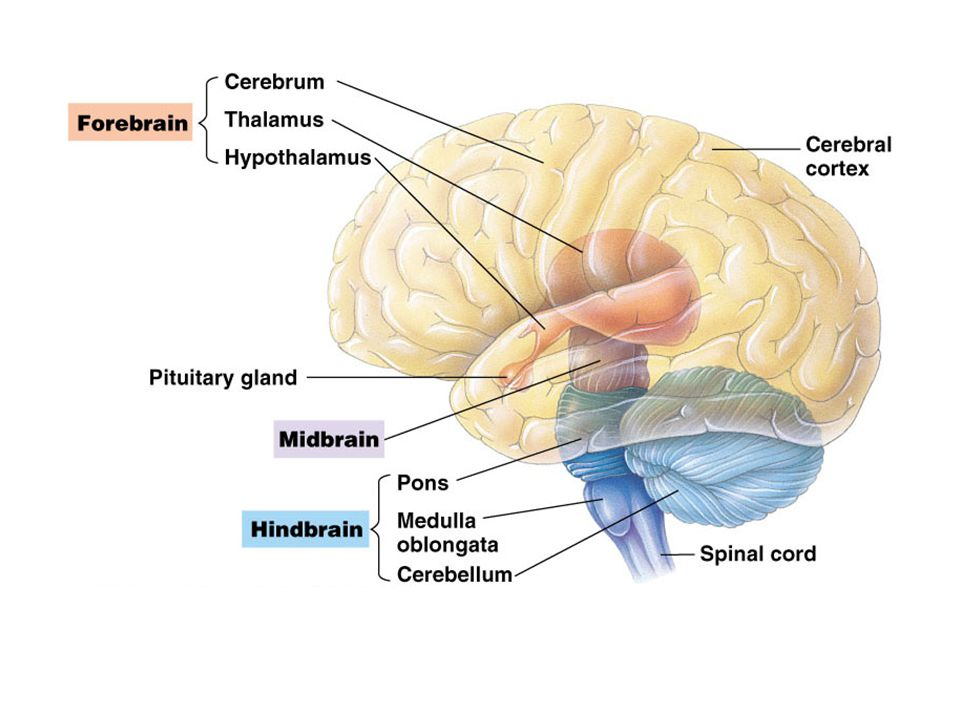 Central Nervous System Cns Brain And Spinal Cord Both Contain