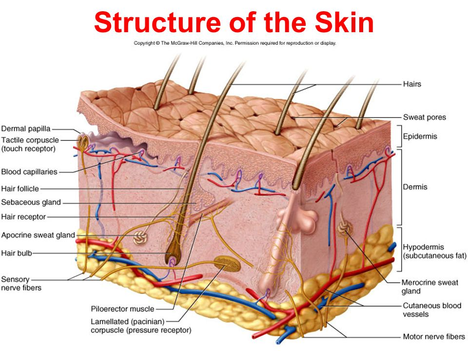 6 1 Human Anatomy Physiology The Integumentary System Chapter 6 By