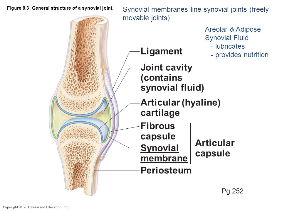 Copyright © 2010 Pearson Education, Inc. Figure 8.3 General structure of a synovial joint.