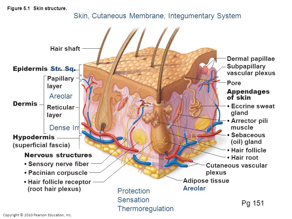 Copyright © 2010 Pearson Education, Inc. Figure 5.1 Skin structure.