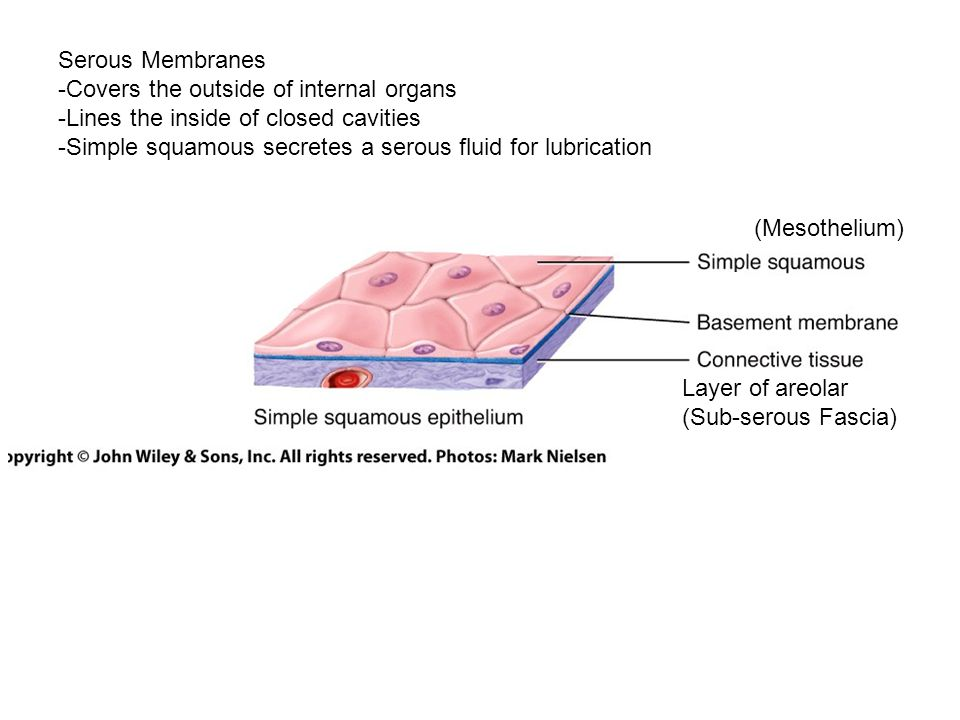 Serous Membranes -Covers the outside of internal organs -Lines the inside of closed cavities -Simple squamous secretes a serous fluid for lubrication (Mesothelium) Layer of areolar (Sub-serous Fascia)