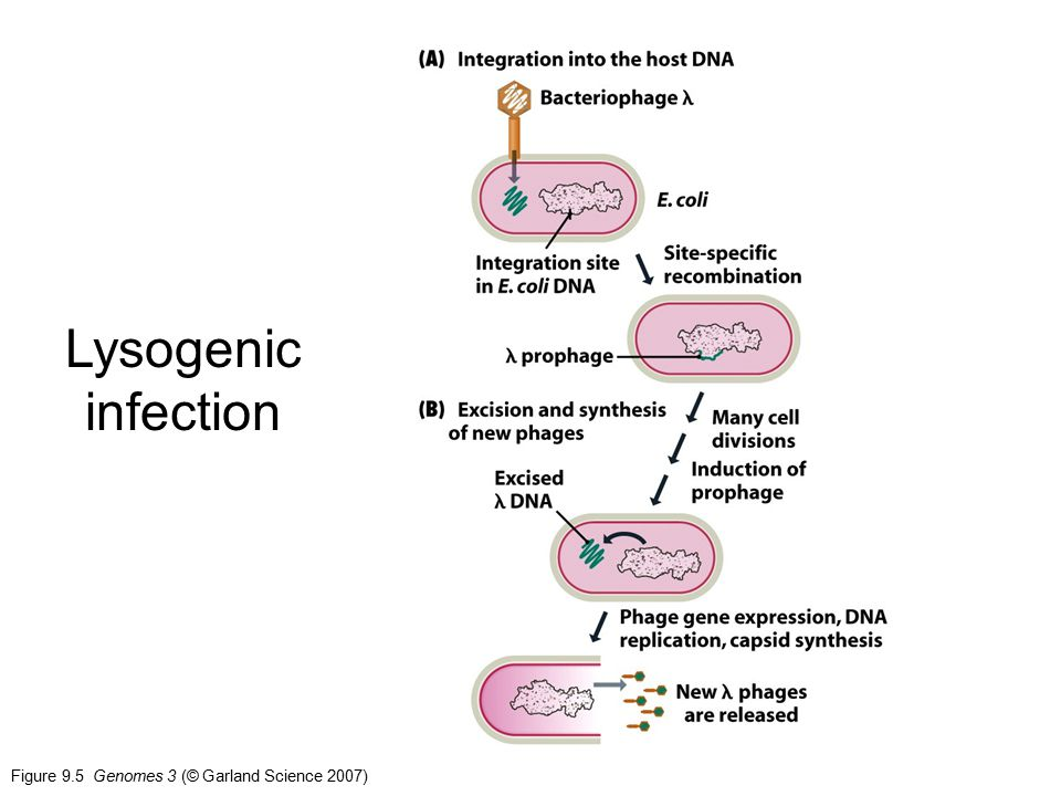 Figure 9.5 Genomes 3 (© Garland Science 2007) Lysogenic infection