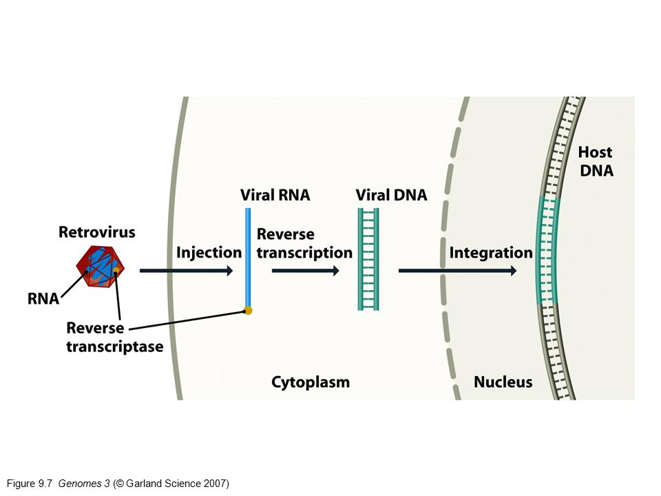 Figure 9.7 Genomes 3 (© Garland Science 2007)