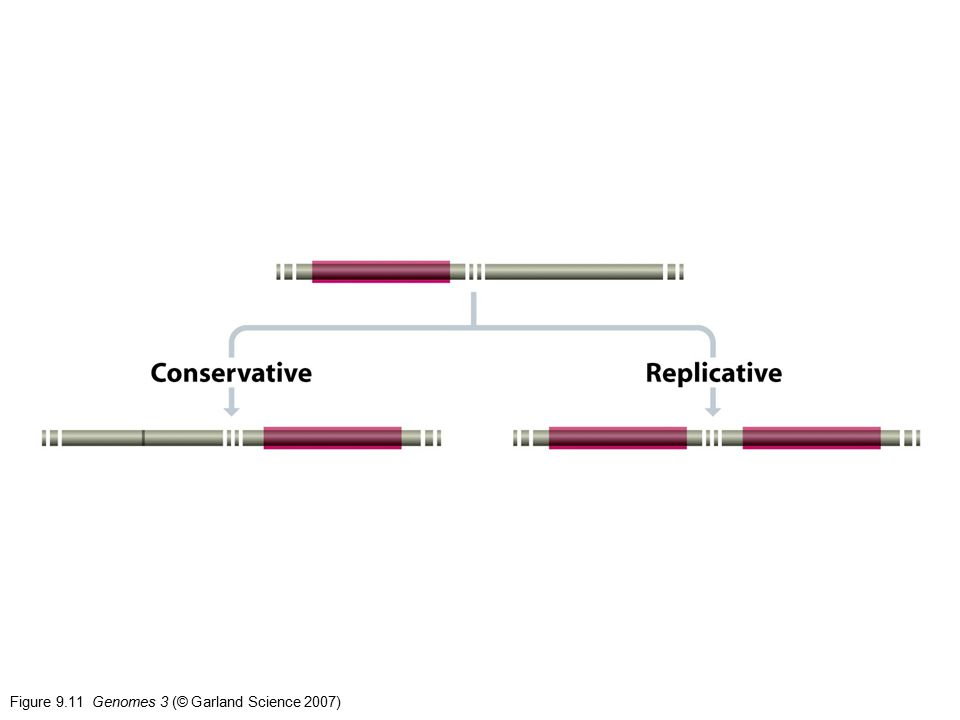 Figure 9.11 Genomes 3 (© Garland Science 2007)