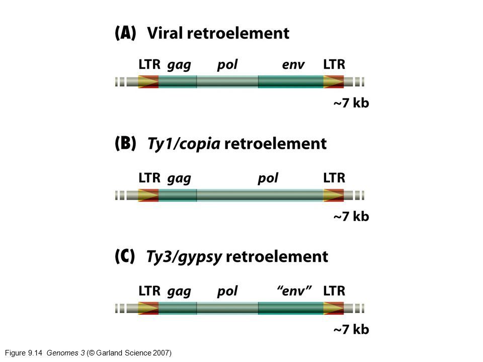 Figure 9.14 Genomes 3 (© Garland Science 2007)