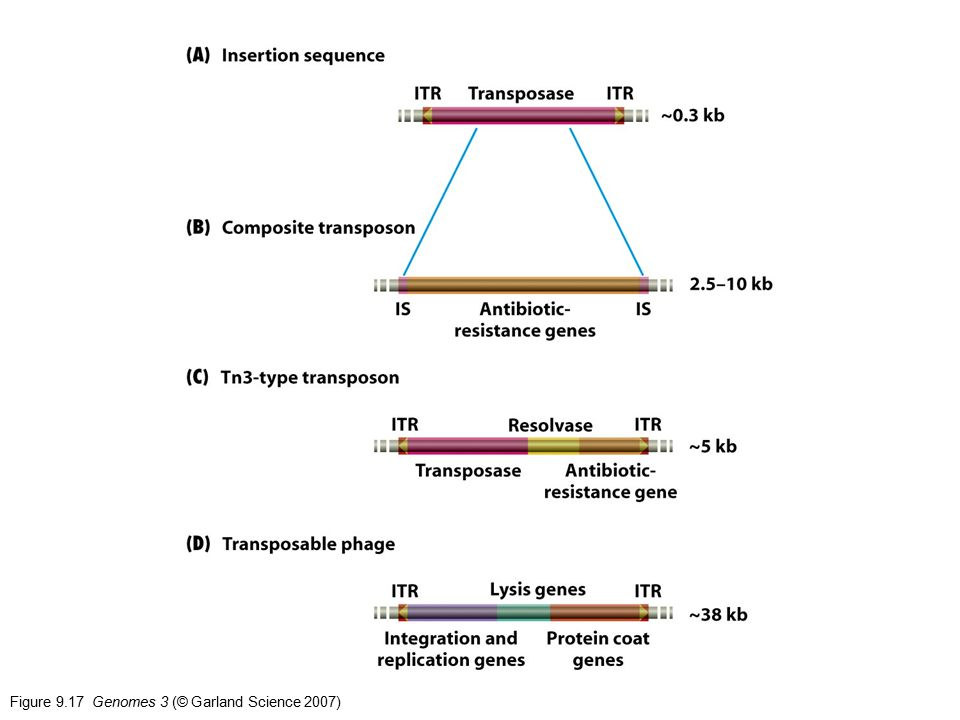 Figure 9.17 Genomes 3 (© Garland Science 2007)