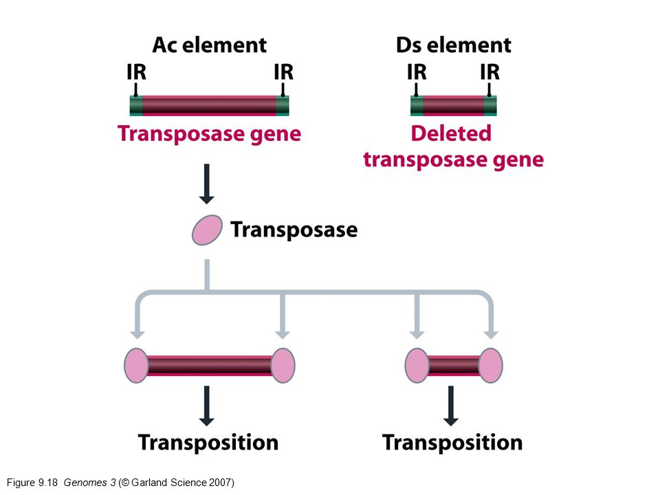 Figure 9.18 Genomes 3 (© Garland Science 2007)