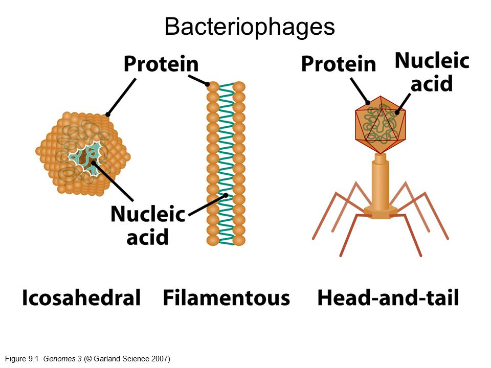 Figure 9.1 Genomes 3 (© Garland Science 2007) Bacteriophages
