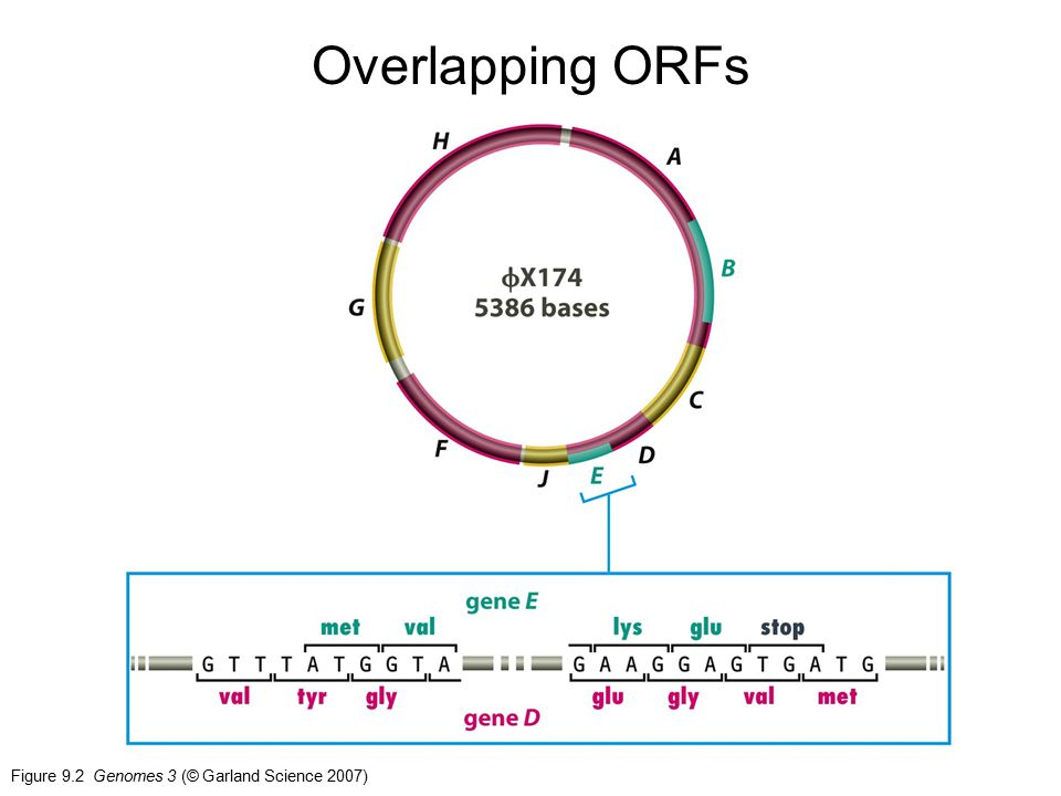 Figure 9.2 Genomes 3 (© Garland Science 2007) Overlapping ORFs
