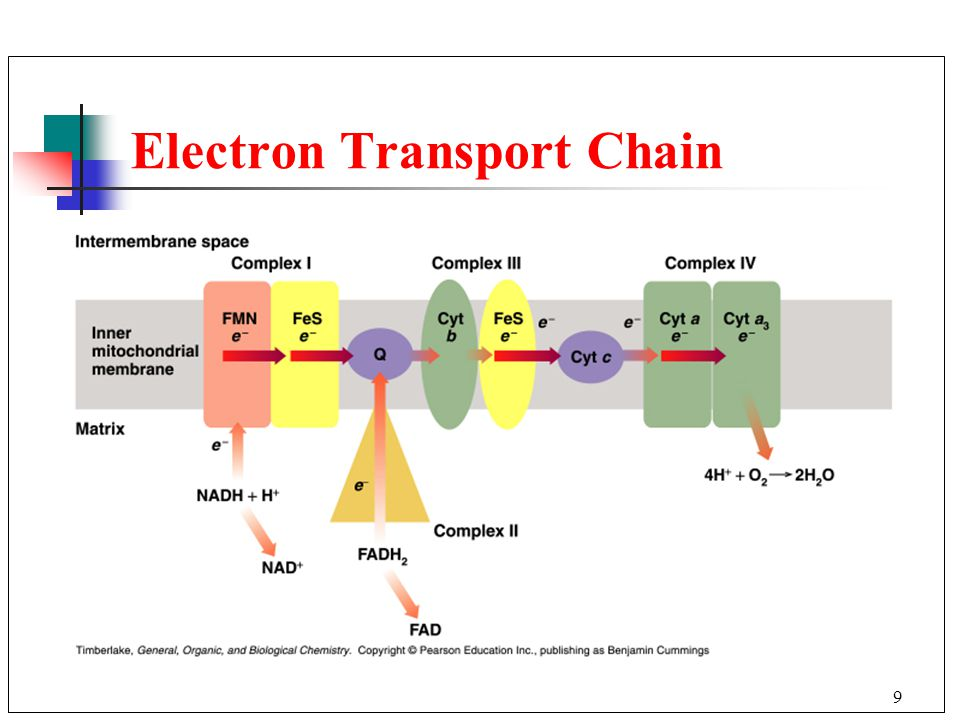 9 Electron Transport Chain