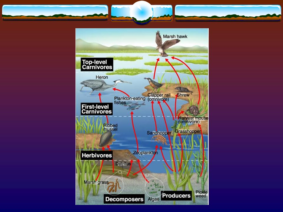 Food Web  Network of complex interactions formed by the feeding relationship among the various organisms in an ecosystem.