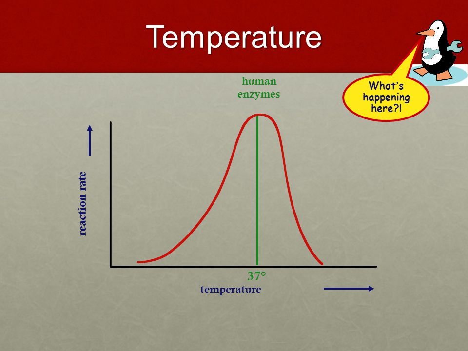 Factors Affecting Enzyme Action Temperature – enzymes work best at certain temperatures Temperature – enzymes work best at certain temperatures (– 37 o C is best for human enzymes in the body) (– 37 o C is best for human enzymes in the body) pH – enzymes work best at certain pH; basic, neutral, and/or acidic environments pH – enzymes work best at certain pH; basic, neutral, and/or acidic environments ex.) Amylase in saliva at pH 7, ex.) Amylase in saliva at pH 7, Pepsin in the stomach at pH 2-3, Trypsin in the intestines at pH 9