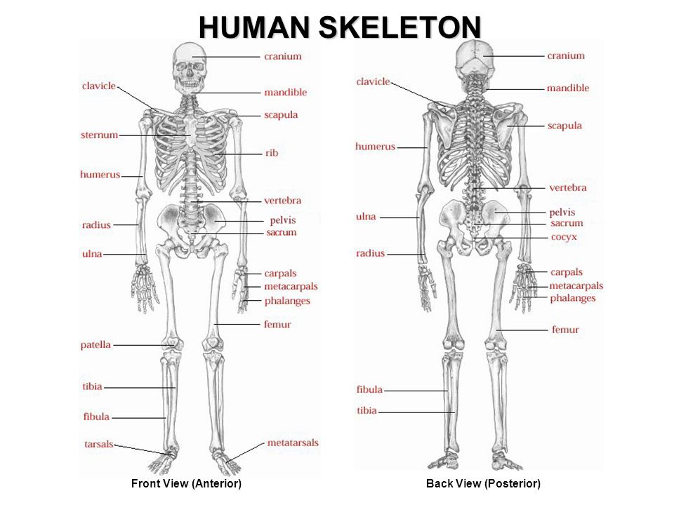 Skeletal System Skeletal System Support And Movement Protection