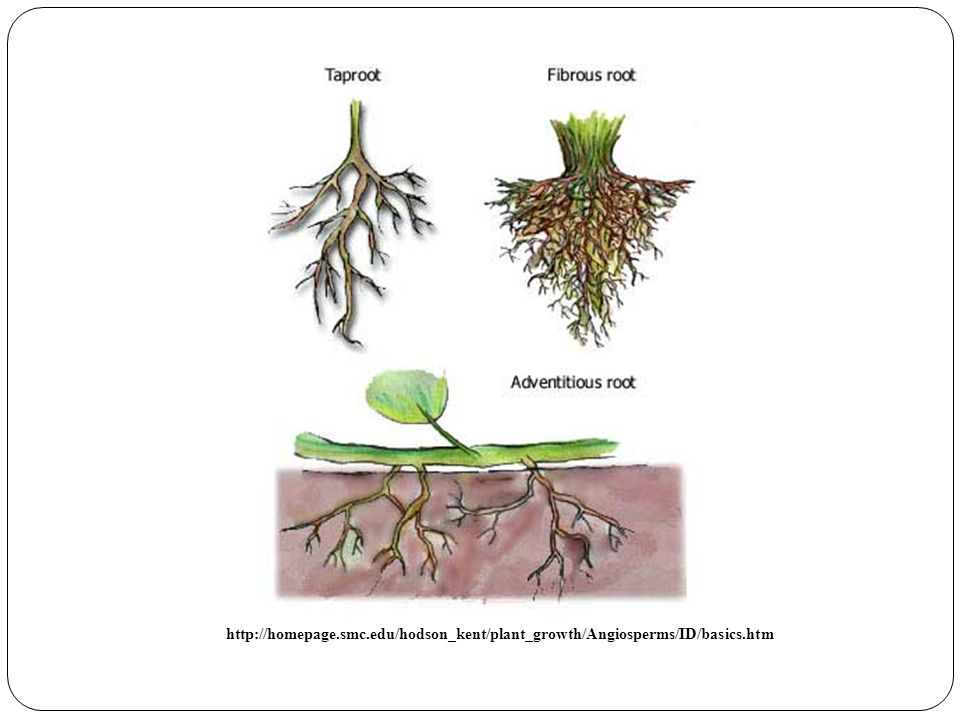 Comparing Cells from Different Parts of the Plant - ppt video online ...