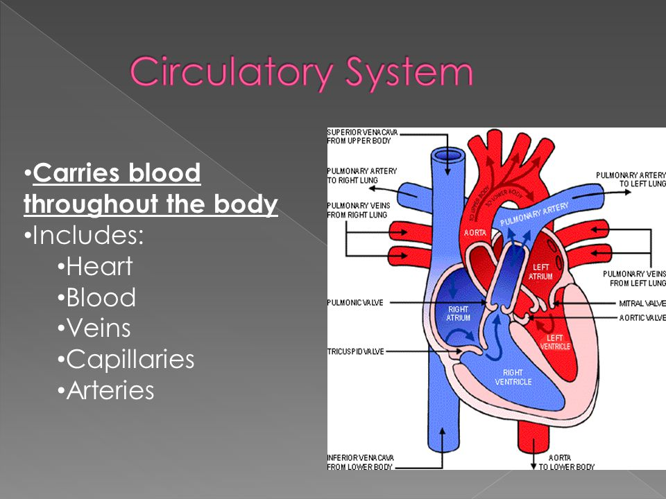 Carries blood throughout the body includes heart blood veins 2 carries blood throughout the body includes heart blood veins capillaries arteries ccuart Choice Image