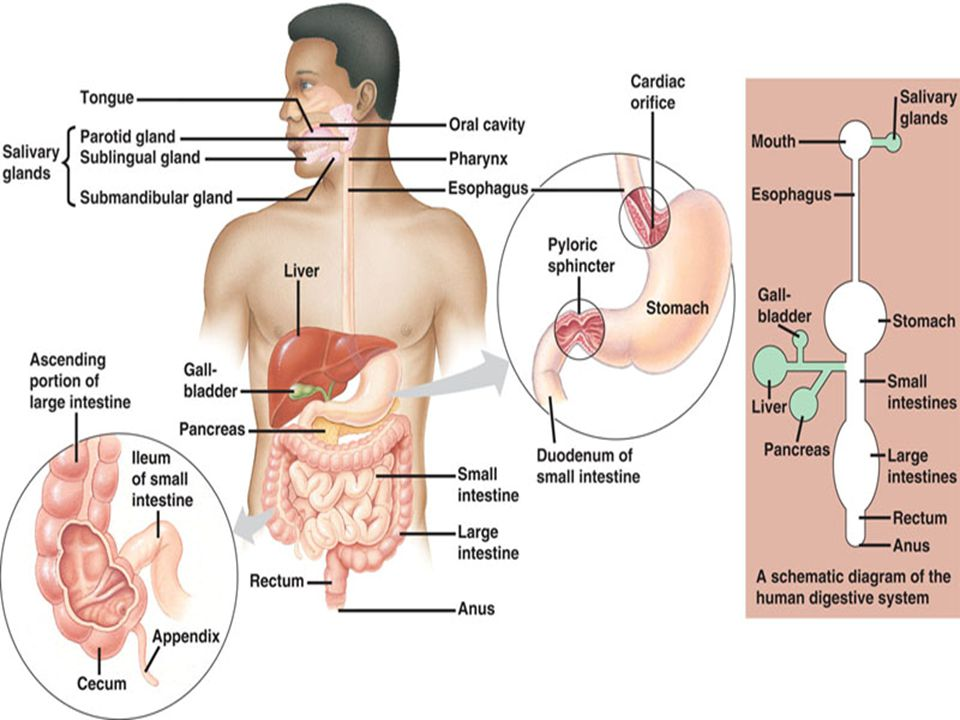 Digestive System From Mouth To Anus Ppt Video Online Download