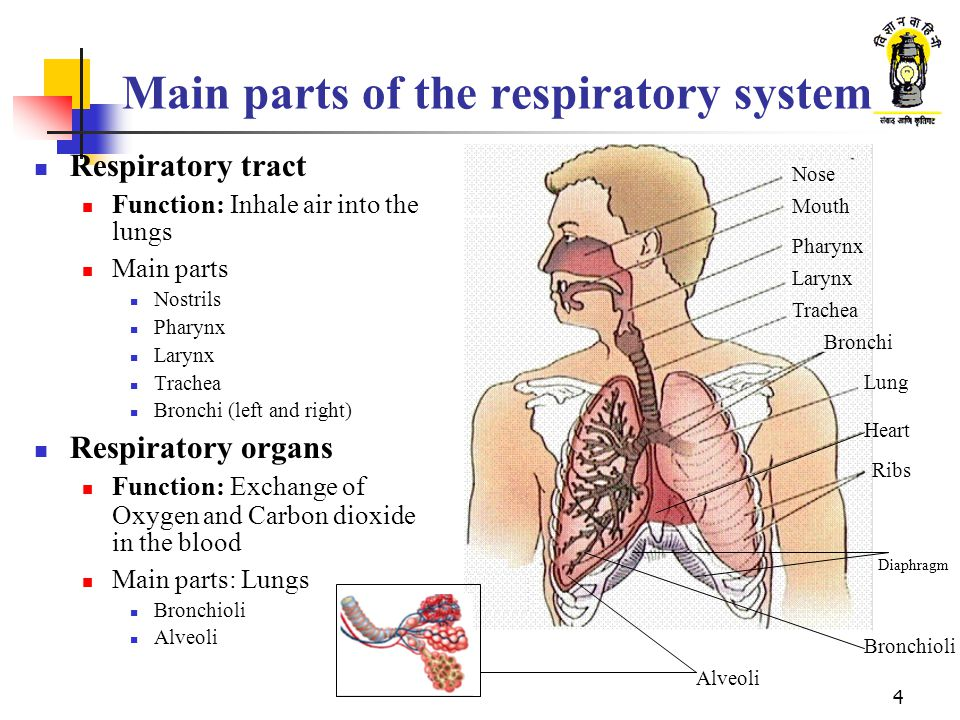 1 Respiratory System 2 What Are We Going To Learn Function Of The
