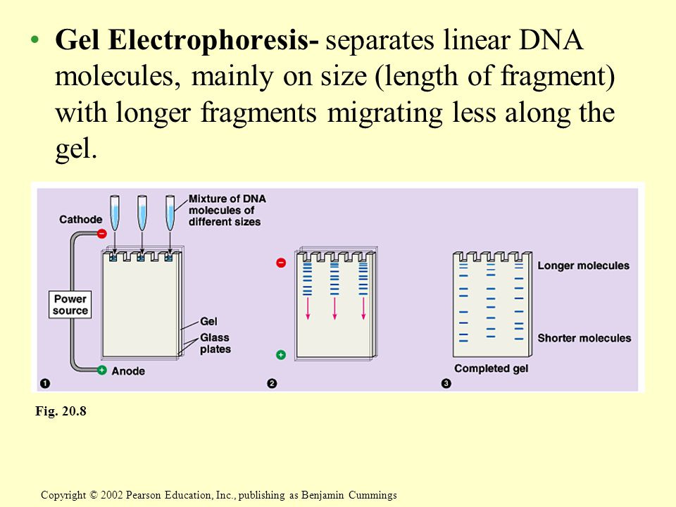 Gel Electrophoresis- separates linear DNA molecules, mainly on size (length of fragment) with longer fragments migrating less along the gel.