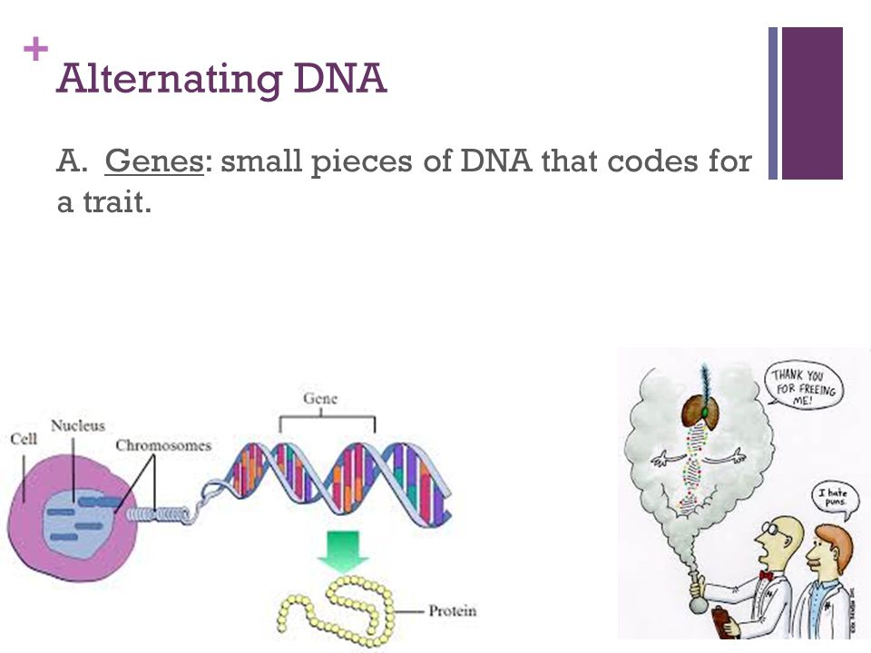 Genetic engineering biotechnology the splice of life ppt download 4 alternating dna a genes small pieces of dna that codes for a trait ccuart Images