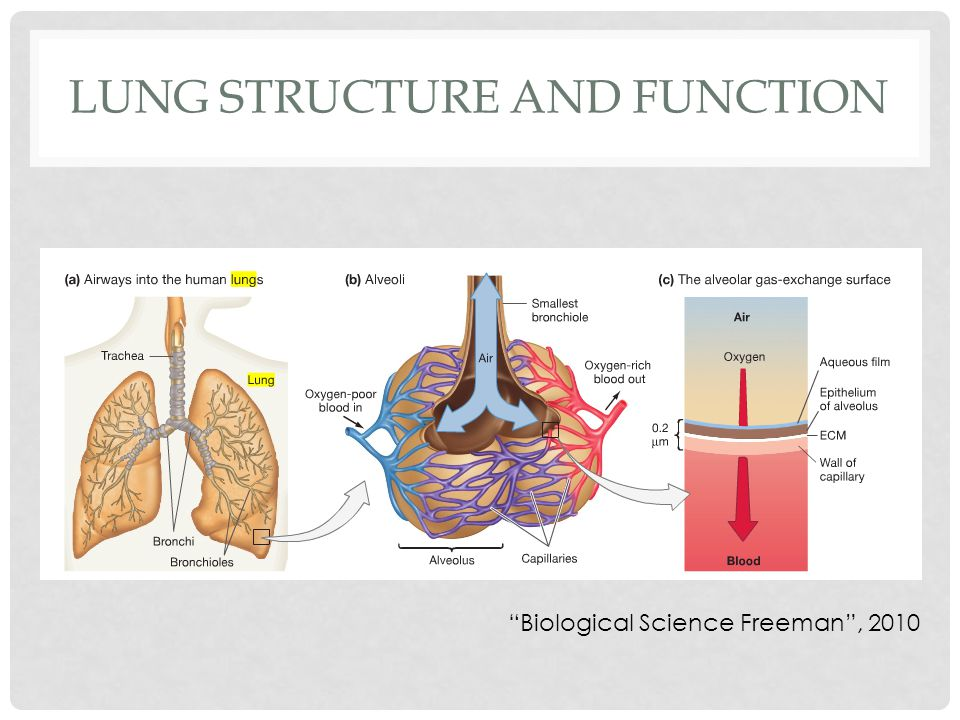LUNG STRUCTURE AND FUNCTION Biological Science Freeman , 2010