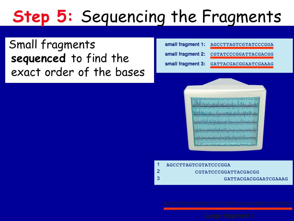 Step 5: Sequencing the Fragments Small fragments sequenced to find the exact order of the bases