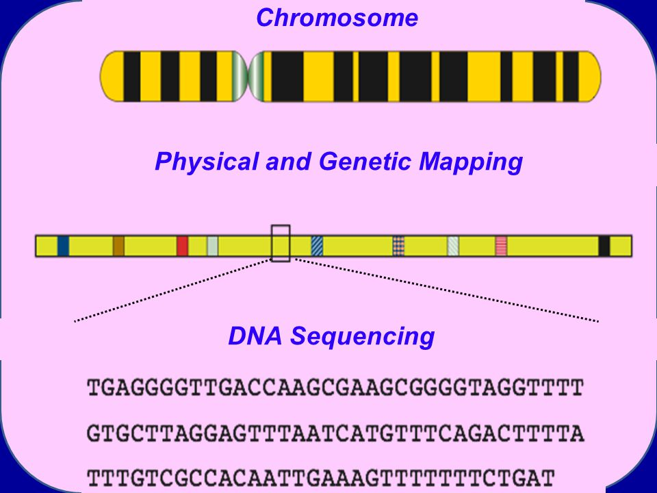 DNA Sequencing Chromosome Physical and Genetic Mapping