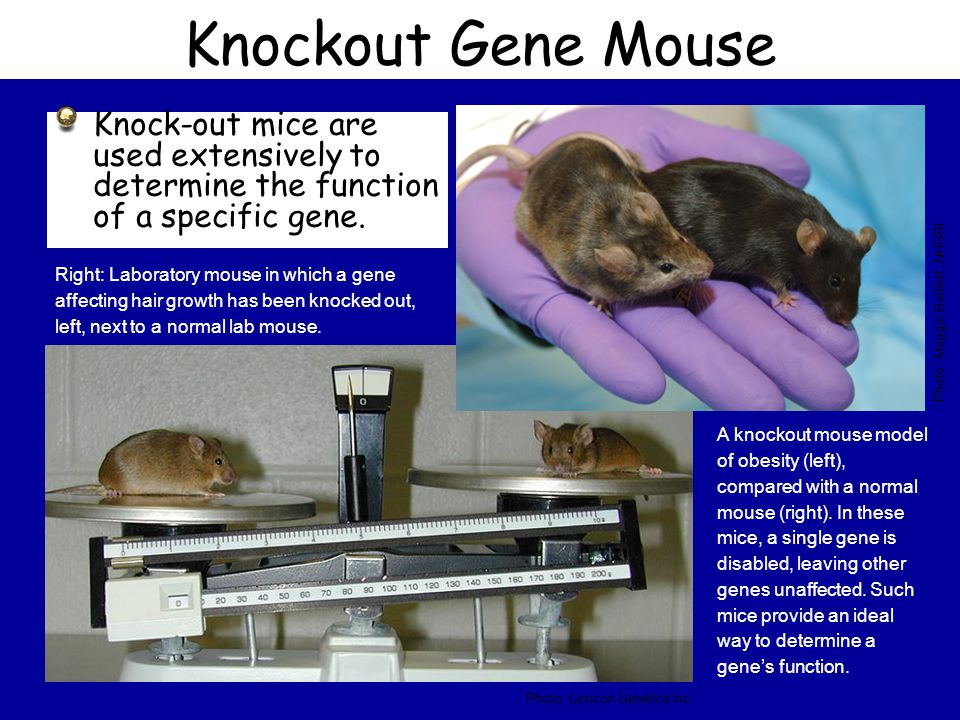 Knockout Gene Mouse Knock-out mice are used extensively to determine the function of a specific gene.