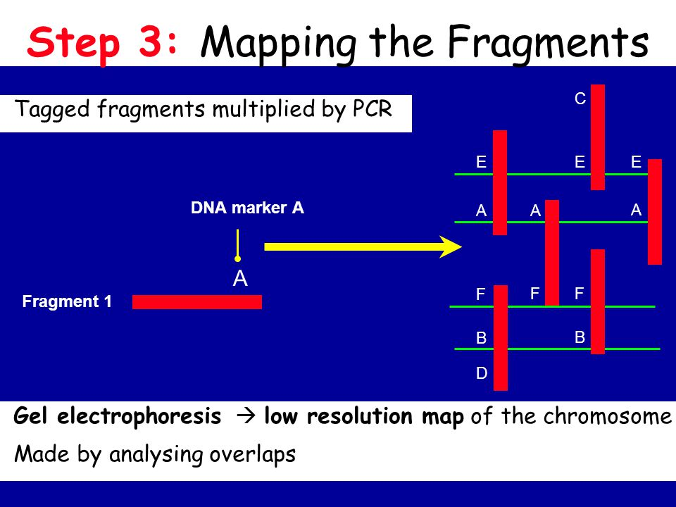 Step 3: Mapping the Fragments Tagged fragments multiplied by PCR AA A EEE C F F F B B D DNA marker A Fragment 1 A Gel electrophoresis  low resolution map of the chromosome Made by analysing overlaps